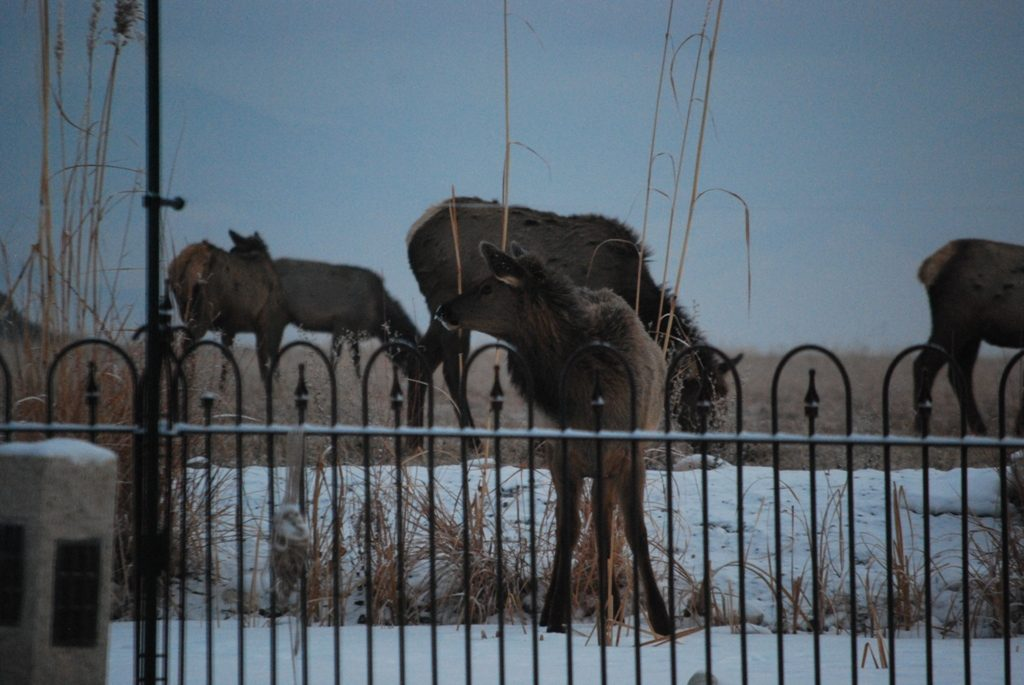 elk on pond