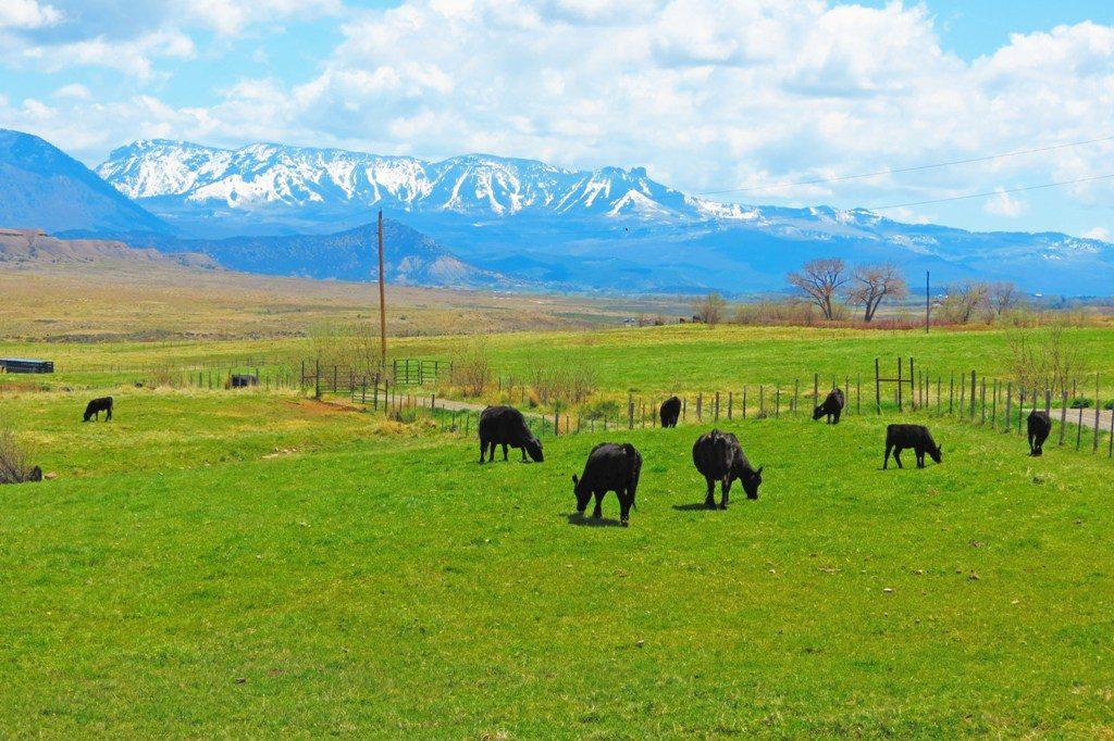 castle mnt cows